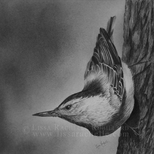 pencil drawing portrait of white breasted nuthatch bird on tree called White-Breasted Nuthatch